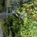 Dragonfly by janturnbull