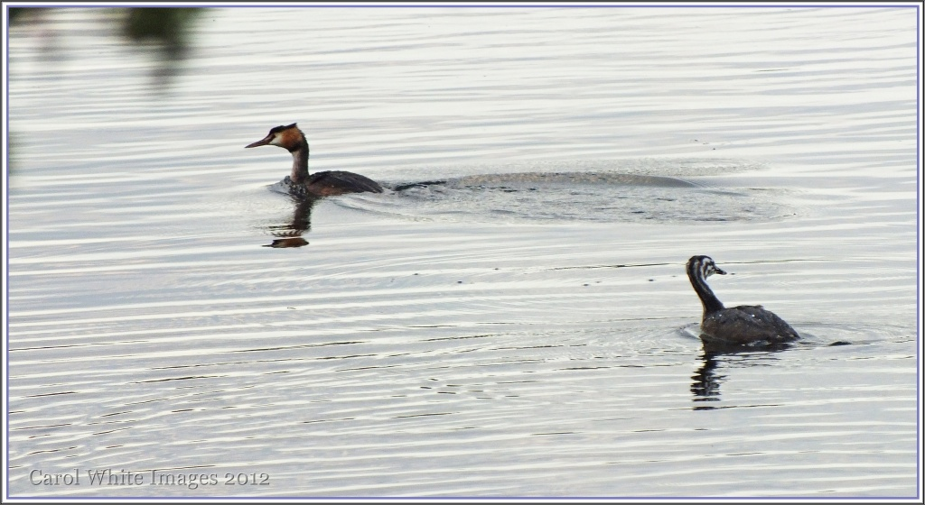 Great Crested Grebe And Juvenile by carolmw