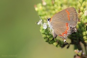 """4th Sep 2012 - """"Red-banded Hairstreak"""": A new one!"""