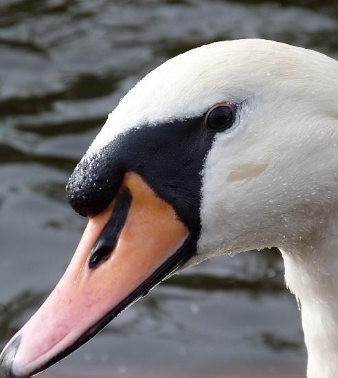 Swan psych by calx