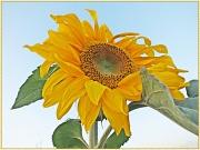 7th Sep 2012 - Sunflower 2