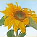 Sunflower 2 by carolmw