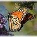 monarch by mjmaven