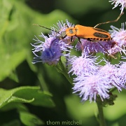 9th Sep 2012 - Goldenrod Soldier Beetle