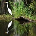 Egret, Magnolia Gardens, Charleston, SC by congaree