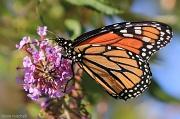 11th Sep 2012 - Monarch