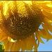 Sunflower by hjbenson