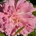 Cracker rose by danette