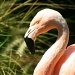 Flamingo by kerristephens