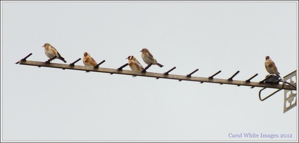 Goldfinch Family by carolmw