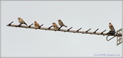 13th Sep 2012 - Goldfinch Family