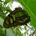 A green one by pyrrhula