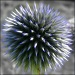 Globe Thistle by filsie65