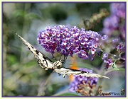 15th Sep 2012 -  Does this Buddleja make my butt look big?
