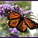 Bee on a Butterfly Bush with a Butterfly by sailingmusic