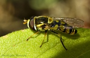 16th Sep 2012 - Common Hover Fly