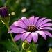 Purple Daisy by salza