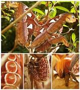 18th Sep 2012 - Atlas Moth, At Last