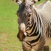 Portrait Of A Zebra by kerristephens