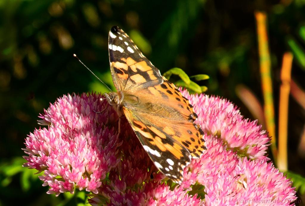 Butterfly on Sedum by jgpittenger