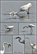 18th Sep 2012 - Great Egret fishing