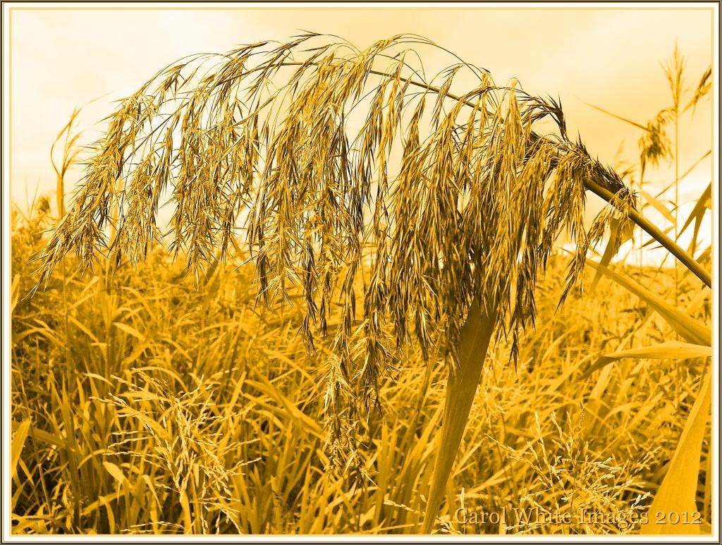 Grasses by carolmw