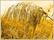 19th Sep 2012 - Grasses
