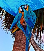 19th Sep 2012 - Macaws at the Marina