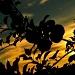 Apple Orchard at Sundown by jayberg
