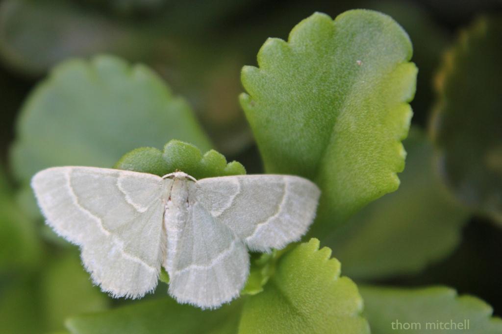 """""""Chlorochlamys phyllinaria"""" (Geometridae) by rhoing"""