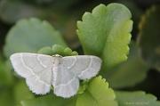 """18th Sep 2012 - """"Chlorochlamys phyllinaria"""" (Geometridae)"""