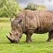 White Rhino by netkonnexion
