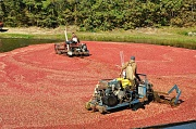 22nd Sep 2012 - Cranberry harvest