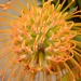 Pincushion Protea by salza