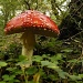 Fly agaric by janturnbull