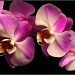 Orchid by tonygig