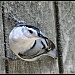 White breasted nuthatch by sailingmusic