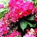 Hydrangeas. by happypat