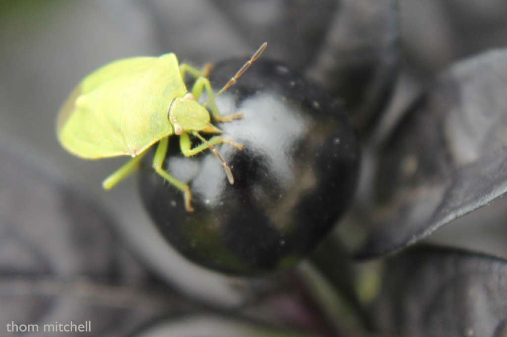 Stink Bug on Black Pearl by rhoing