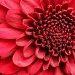 Chrysanthamum by cdonohoue