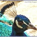 Proud As A Peacock by carolmw