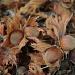 Hazelnuts/Filberts by vickisfotos
