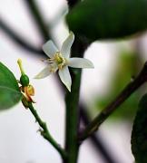 30th Sep 2012 - (Day 230) - Lemon Blossom