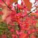 spindleberries by quietpurplehaze