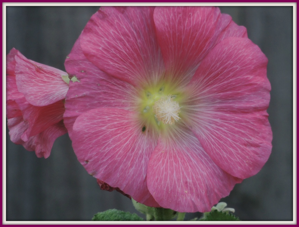 Pretty in Pink  by rosiekind