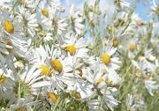 1st Oct 2012 - Breezy daisies
