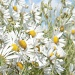 Breezy daisies by dulciknit