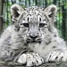 Baby snow leopard by maggie2