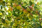 3rd Oct 2012 - How Do You Like Them Apples?