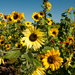 Sunflowers by vickisfotos